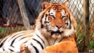 Бенгальский тигр (архивное фото, не из зоопарка Анкары)