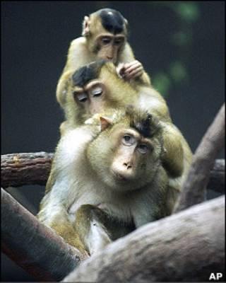 Macacos-de-gibraltar (arquivo)
