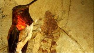 Fosil semut purba Wyoming seukuran dengan burung hummingbird