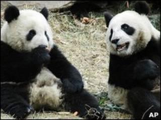 Casal de pandas presenteados pela China a Taiwan