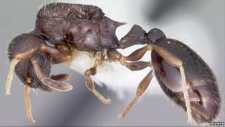 Муравьи вида Temnothorax longispinosus