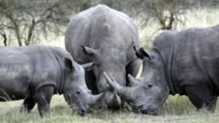 Tê giác ở Nam Phi