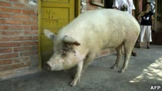 свинья-героиня