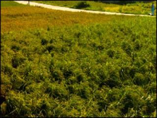 rice field nepal