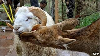 चीन के चिड़ियाघर में एक मादा हिरण और नर भेड़