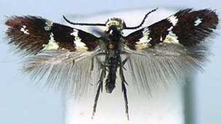 Imagem da mariposa adulta 'Antispila oinophylla' (Foto: NBC Naturalis)