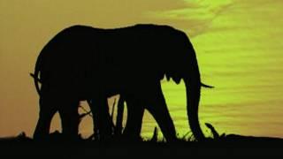 نسل فیل ها در معرض انقراض است