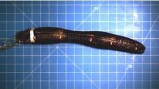 warrior worm