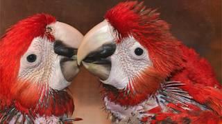 Una pareja de guacamayas escarlatas Fotos gentileza Parque Xcaret
