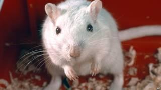 चूहिया, चूहा