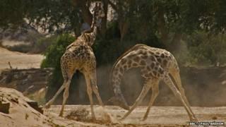 jirafas macho en pelea