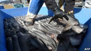 Barbatanas de tubarão em uma fábrica de processamento no Japão