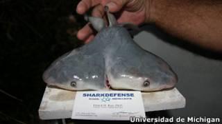 Tiburón toro de dos cabezas