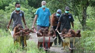 Bebês orangutangos | Foto: Roger Allen