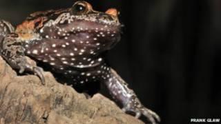 Чернобрюхая дискоязычная лягушка