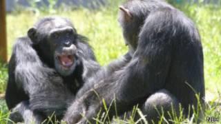 चिंपांज़ी