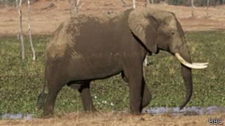 Foto de archivo de elefante en Zimbabue