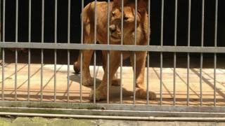 Singa Abissynia