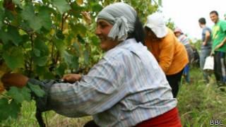 Сбор урожая винограда в Грузии