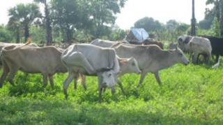 _batticaloa_cattle