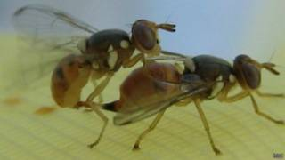 Маслинные мухи