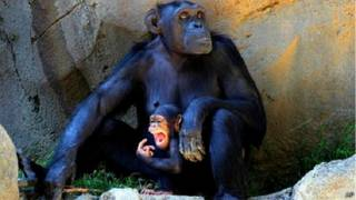 चिंपाज़ी टॉमी