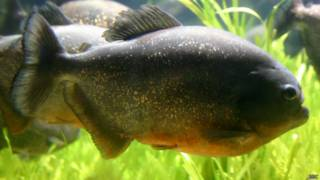 Piranha-vermelha. Foto: BBC