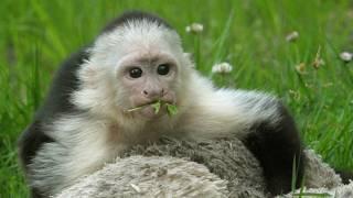 बालों वाला बंदर