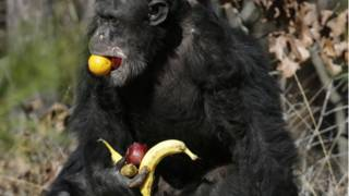 Macaco comendo frutas (AP)