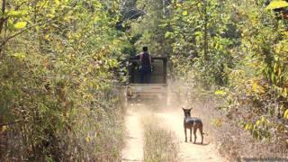 ताडोबा अंधारी व्याघ्र प्रकल्प में एक कुत्ता