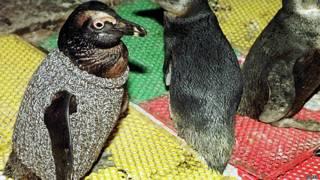 Pinguins usando agasalho (Getty)