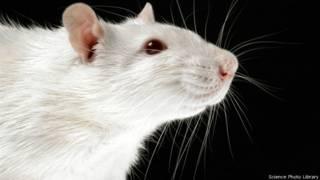 चूहे पर अध्ययन