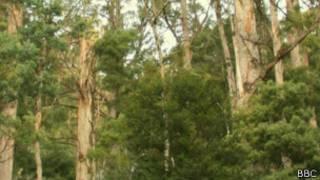 _tasmanian_forest