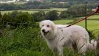多莉狩猎犬