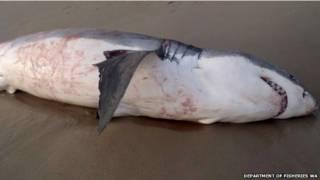 Tiburón blanco muerto en una playa de Australia