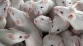 實驗室白鼠
