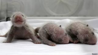 तीन पांडों का जन्म