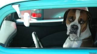 Собака, запертая внутри автомобиля