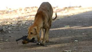 भारत का एक आवारा कुत्ता