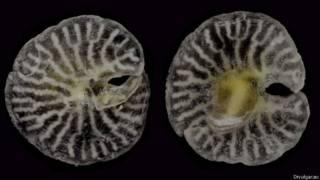 Organismo encontrado na costa australiana e ainda não classificado / Crédito: Divulgação
