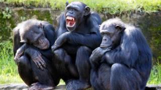 Chimpanzés (AFP)