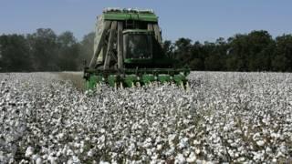 Campo de algodão nos EUA (AP)