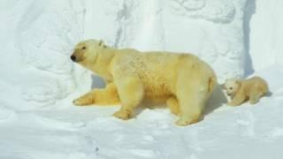 two polar bears