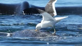 Gaviota picoteando a una ballena
