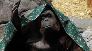 """اورانیوټان"" orangutan بیزو"