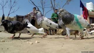 पाकिस्तानी कबूतर भारत में