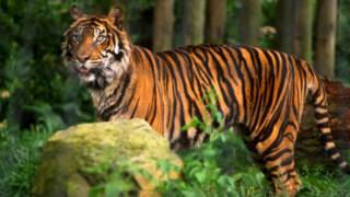 A tiger in the woods