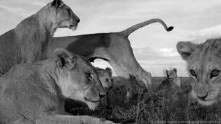 रवांडा शेर