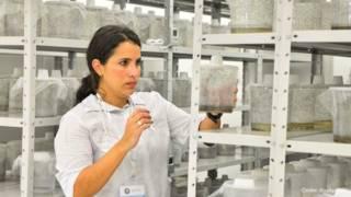 Laboratorio de mosquitos transgénicos para combatir el dengue en Brasil