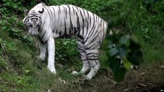 सफेद बाघ (फ़ाइल फोटो)